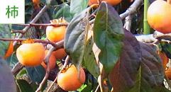 果物狩り3:柿狩り・柿産地直売