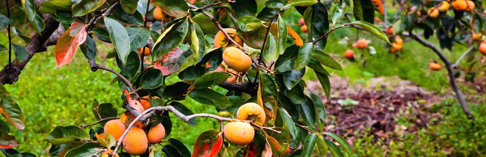 関東・茨城の果物狩り・柿狩り
